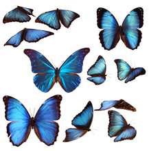 Collection Of Blue Morpho Butt...