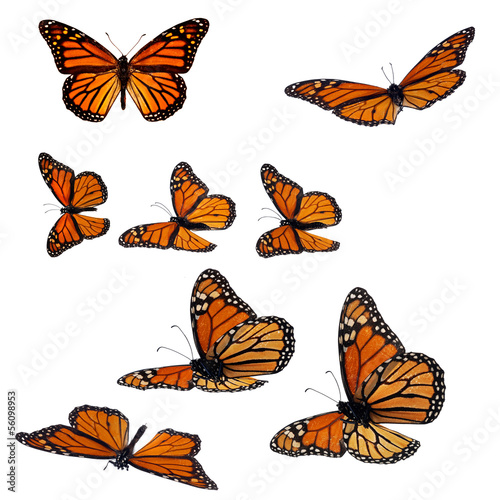Fototapeta  Collection of monarch butterflies