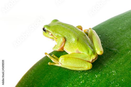 Tuinposter Kikker Green tree frog on the leaf close up