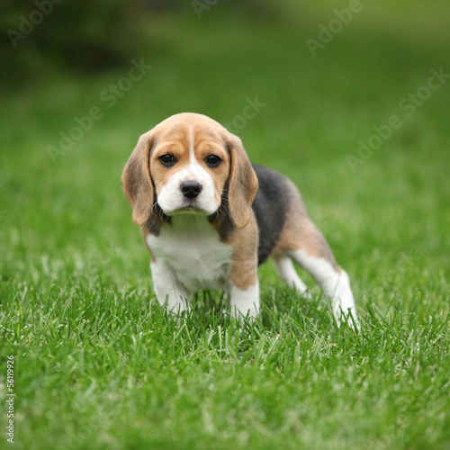 Carta da parati Gorgeous beagle puppy in the garden