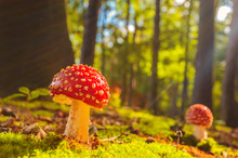 Sunny View Of Fly Agaric Mushr...