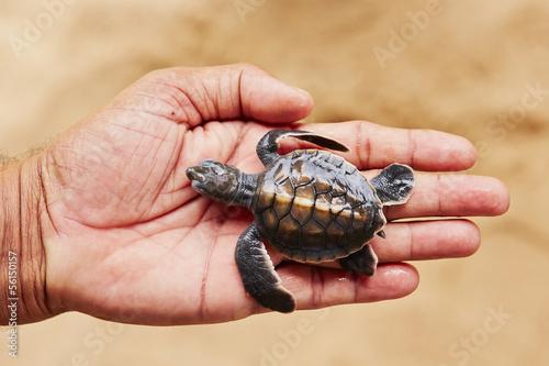 Foto op Aluminium Schildpad Newborn of turtle