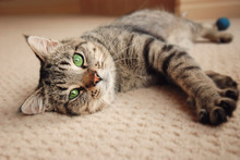 Kitten Stretched Out On Carpet
