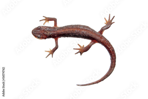 Photo Common newt isolated on white