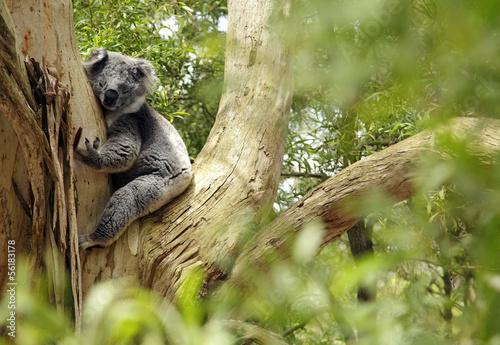 Cadres-photo bureau Koala Koala, Australien