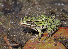 A Northern Leopard Frogs (Lith...