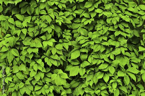 Fototapeta Background of green leaves obraz