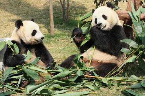 Fényképezés  Two giant panda enjoying their bamboo food in a zoo