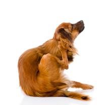 Russian Toy Terrier Scratchin...