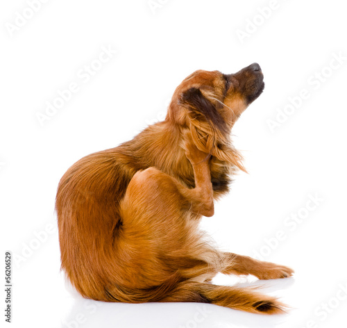 Russian toy terrier scratching. isolated on white background Fototapet