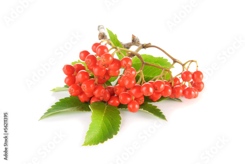Fotografie, Obraz  Rowanberry with green leaves over white background