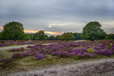 sunset over heather fields, the Netherlands - 56215768