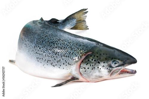 Atlantic salmon Fotobehang