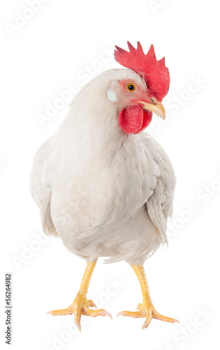 Staande foto Kip A hen is a laying hen of white color. With a large comb.