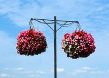 Two Hanging Baskets Of Bergoni...