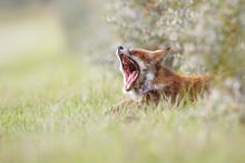 Yawning Red Fox