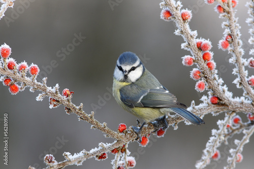 Photo  Blue tit, Parus caeruleus
