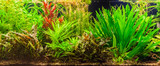 Fototapeta  - Ttropical freshwater aquarium with fishes