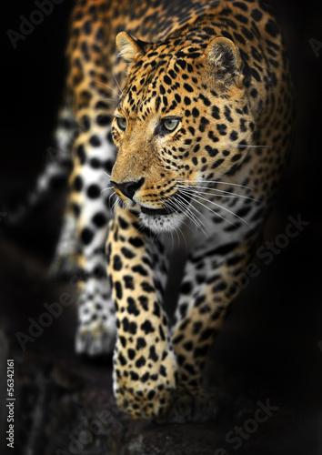 Foto-Schiebevorhang (ohne Schiene) - Amur Leopard (von kyslynskyy)