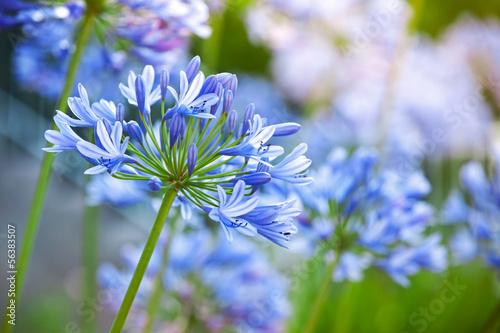 Türaufkleber Makrofotografie Macro photo of bright blue Agapanthus flowers