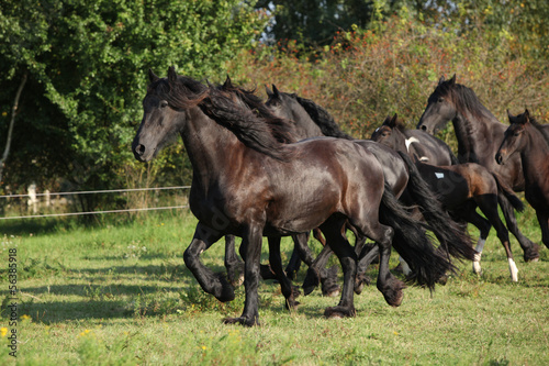 fototapeta na lodówkę Beautiful black horses running