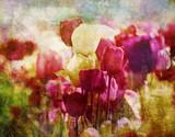 tulipany nostalgiczne - 56395934