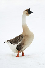 Chinese Swan Goose On  Loose S...