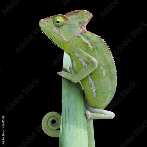 Staande foto Kameleon Chamäleon