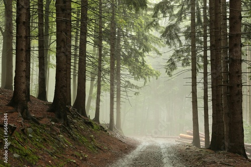 Foto auf Acrylglas Wald im Nebel Coniferous forest in fog