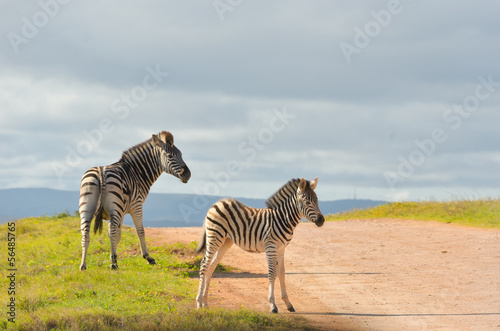 Canvas Prints Zebra Zebras in Addo national park, South Africa