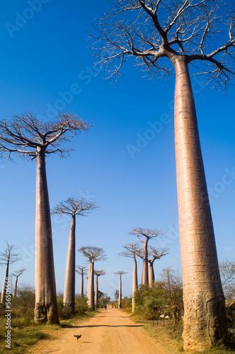 In de dag Baobab Baobab avenue