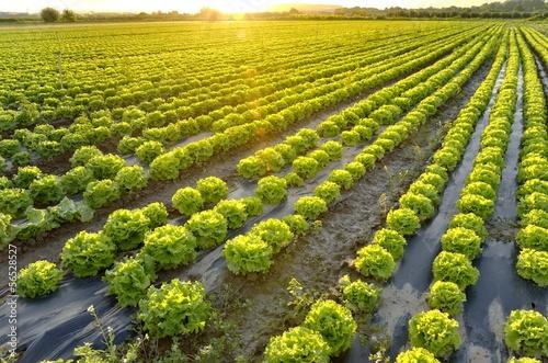 Fotografija The garden of lettuce
