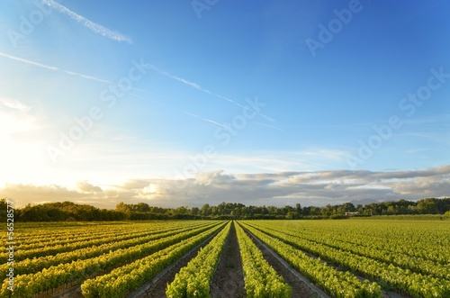 Fotografia  vineyards