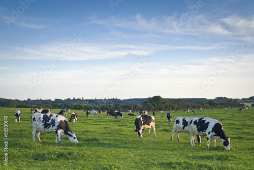 Foto auf AluDibond Kuh Healthy cattle livestock, Idyllic Rural, UK