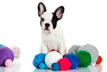 French Bulldog With Threadballs Isolated On White Background