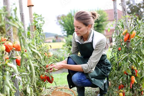 Woman in kitchen garden picking tomatoes Fototapeta