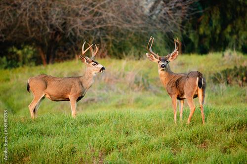 Photo Black-tailed deer bucks