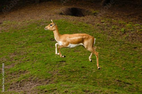 Door stickers Kangaroo Springende Indische antilopen