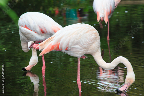 Photo Stands Kangaroo Europese flamingo