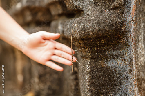 Photo  Phasmatodea crawling at wall of ancient temple in Sri Lanka