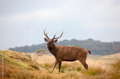 Deurstickers Hert Sri Lankan sambar deer in Horton Plains national park