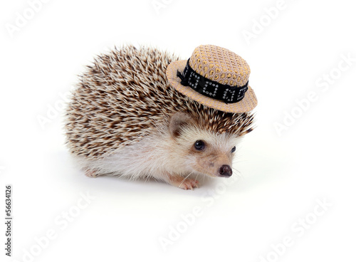 Fotografie, Obraz  Little hedgehog.