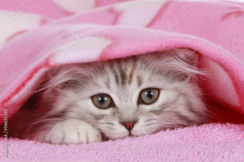 Kätzchen schaut unter Decke hervor - cat hides under blanket