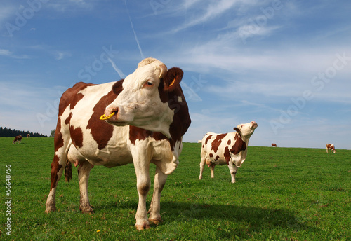 Canvastavla vaches normandes