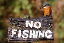 European Kingfisher, Alcedo At...
