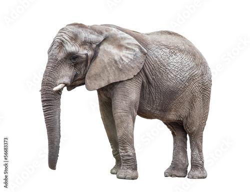 Fotobehang Olifant Elephant isolated on white