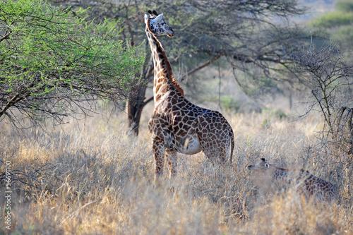Giraffe in the wild of africa Poster