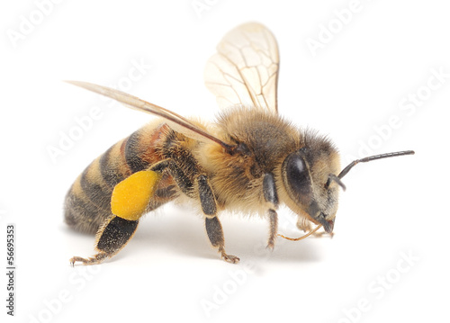 Spoed Foto op Canvas Bee honeybee
