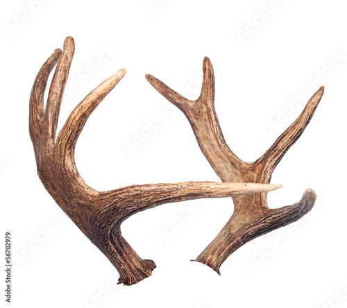 Fotografia Elk antlers. Isolated on white