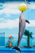 Dolphin Playing With Ball In Water Park, Performance, Show